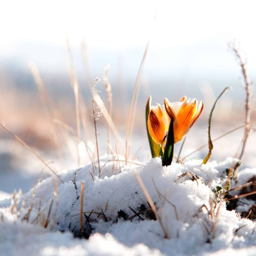 lhiver,-fleur-orange,-neige-221274